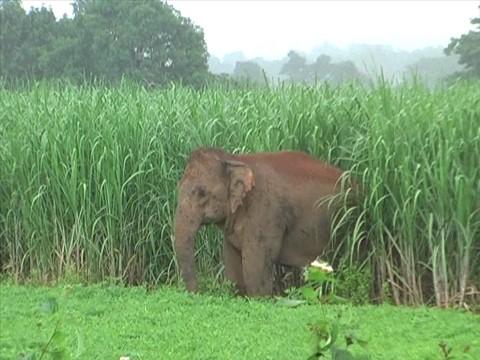 elephant in surguja
